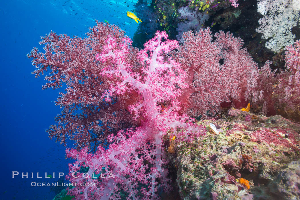 Spectacularly colorful dendronephthya soft corals on South Pacific reef, reaching out into strong ocean currents to capture passing planktonic food, Fiji. Namena Marine Reserve, Namena Island, Fiji, Dendronephthya, natural history stock photograph, photo id 31414