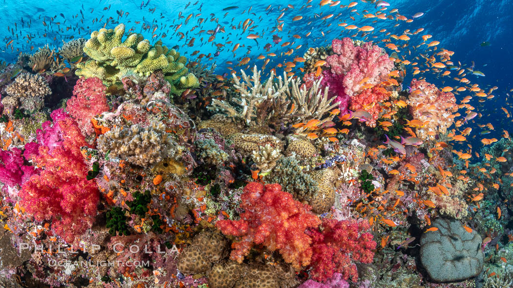 Anthias fishes school over the colorful Fijian coral reef, everything taking advantage of currents that bring planktonic food. Fiji. Bligh Waters, Dendronephthya, Pseudanthias, natural history stock photograph, photo id 34792