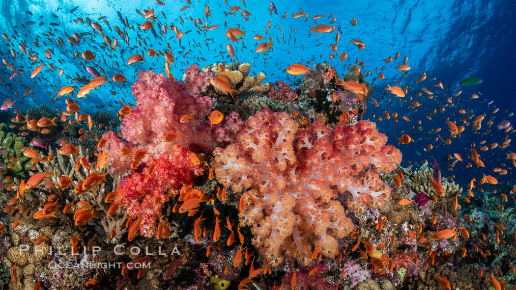 Anthias fishes school over the colorful Fijian coral reef, everything taking advantage of currents that bring planktonic food. Fiji. Bligh Waters, Dendronephthya, Pseudanthias, natural history stock photograph, photo id 34836