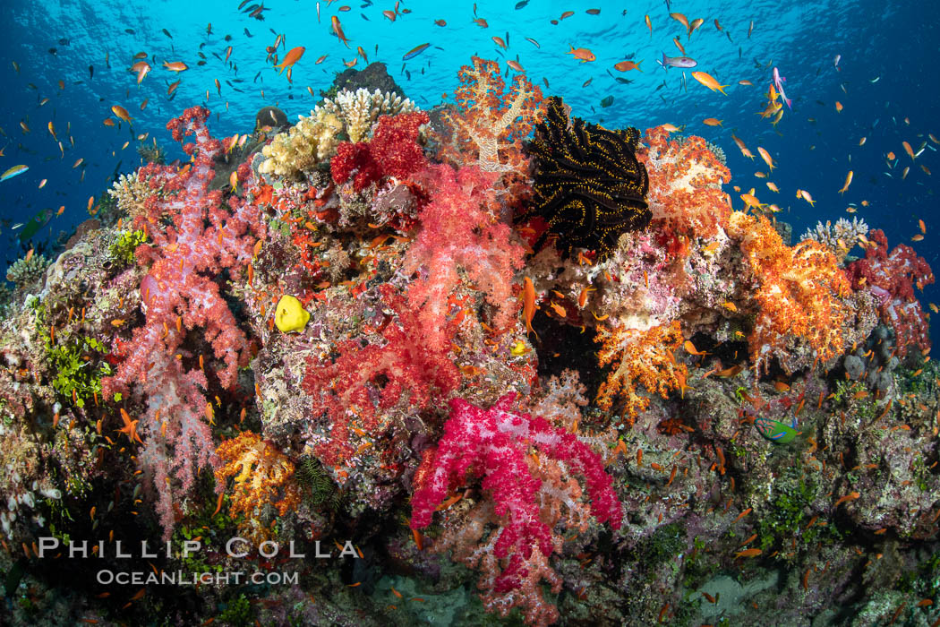 Spectacularly colorful dendronephthya soft corals on South Pacific reef, reaching out into strong ocean currents to capture passing planktonic food, Fiji. Nigali Passage, Gau Island, Lomaiviti Archipelago, Fiji, Dendronephthya, natural history stock photograph, photo id 34880