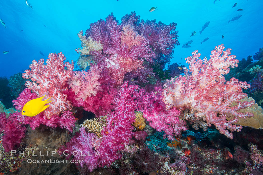 Spectacularly colorful dendronephthya soft corals on South Pacific reef, reaching out into strong ocean currents to capture passing planktonic food, Fiji. Nigali Passage, Gau Island, Lomaiviti Archipelago, Fiji, Dendronephthya, natural history stock photograph, photo id 31335