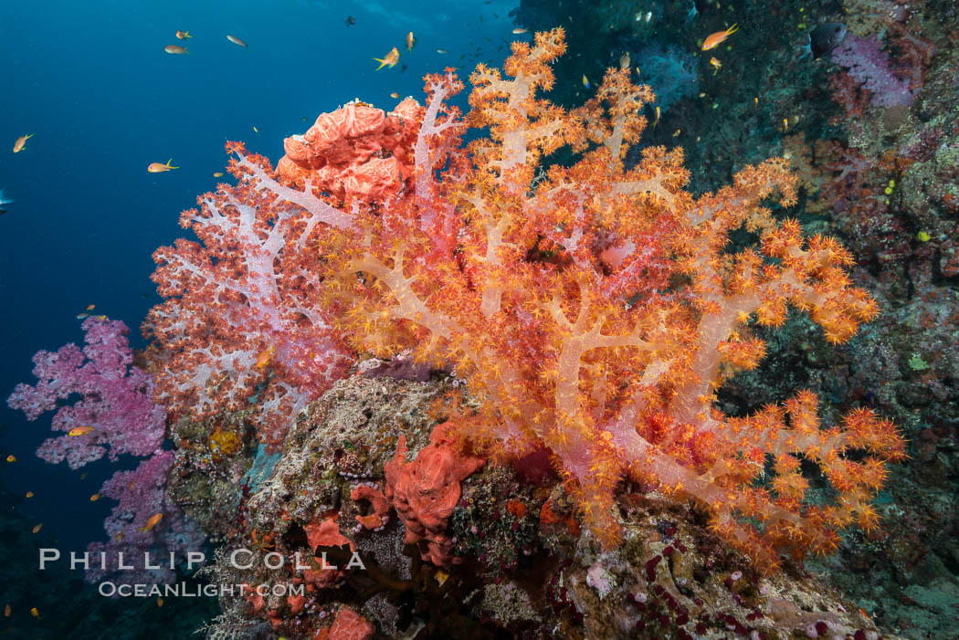 Spectacularly colorful dendronephthya soft corals on South Pacific reef, reaching out into strong ocean currents to capture passing planktonic food, Fiji. Gau Island, Lomaiviti Archipelago, Dendronephthya, natural history stock photograph, photo id 31515