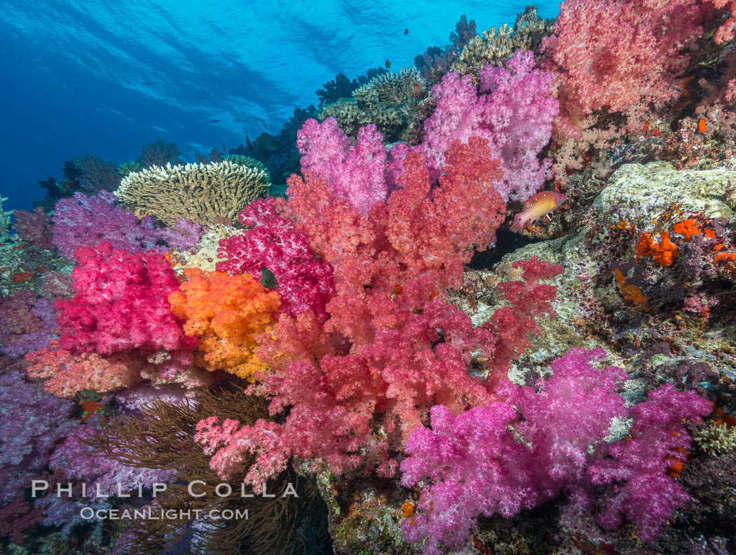 Spectacularly colorful dendronephthya soft corals on South Pacific reef, reaching out into strong ocean currents to capture passing planktonic food, Fiji. Nigali Passage, Gau Island, Lomaiviti Archipelago, Dendronephthya, natural history stock photograph, photo id 31531