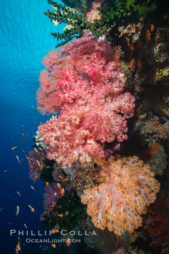 Spectacularly colorful dendronephthya soft corals on South Pacific reef, reaching out into strong ocean currents to capture passing planktonic food, Fiji., Dendronephthya, Tubastrea micrantha, natural history stock photograph, photo id 31619