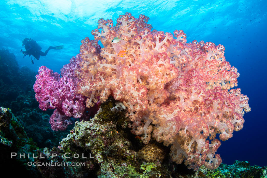 Anthias fishes school over the colorful Fijian coral reef, everything taking advantage of currents that bring planktonic food. Fiji, Dendronephthya, Pseudanthias, Vatu I Ra Passage, Bligh Waters, Viti Levu Island