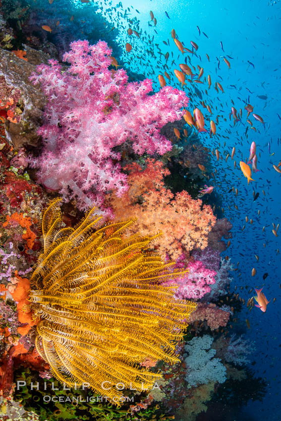 Colorful and exotic coral reef in Fiji, with soft corals, hard corals, anthias fishes, anemones, and sea fan gorgonians., Dendronephthya, Pseudanthias, natural history stock photograph, photo id 34763