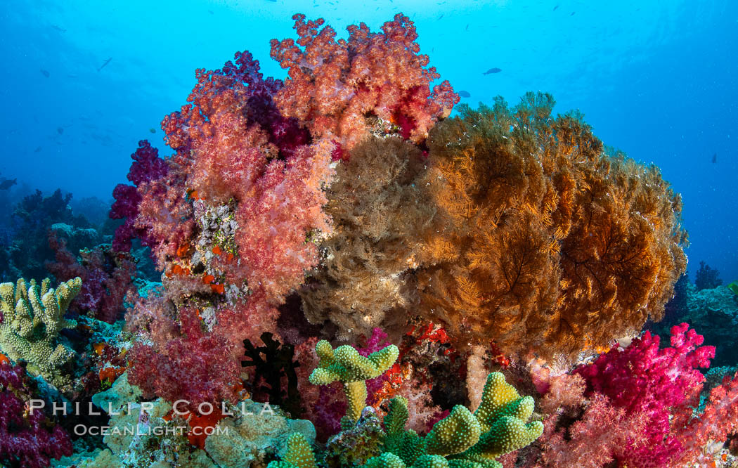 Spectacularly colorful dendronephthya soft corals on South Pacific reef, reaching out into strong ocean currents to capture passing planktonic food, Fiji. Nigali Passage, Gau Island, Lomaiviti Archipelago, Dendronephthya, natural history stock photograph, photo id 34839
