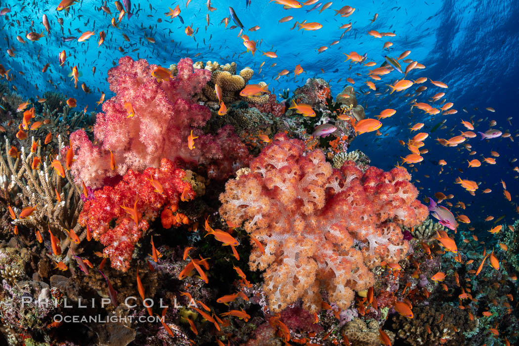 Anthias fishes school over the colorful Fijian coral reef, everything taking advantage of currents that bring planktonic food. Fiji. Bligh Waters, Dendronephthya, Pseudanthias, natural history stock photograph, photo id 34963