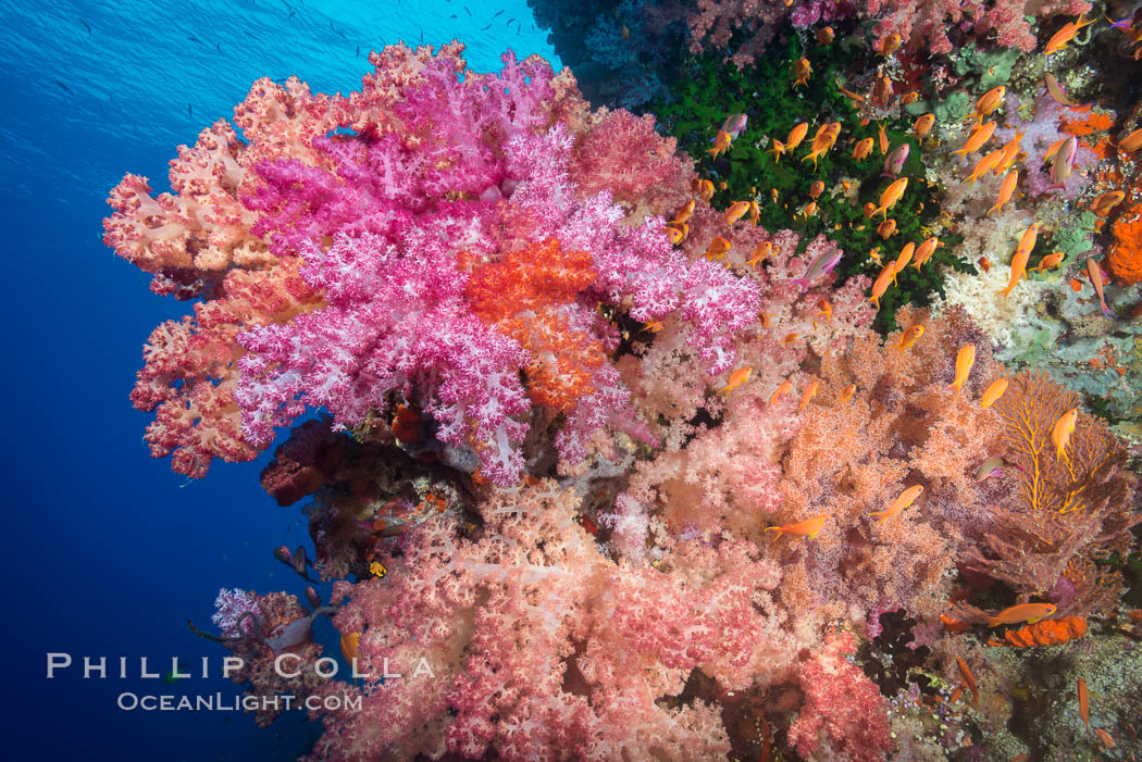 Spectacularly colorful dendronephthya soft corals on South Pacific reef, reaching out into strong ocean currents to capture passing planktonic food, Fiji. Vatu I Ra Passage, Bligh Waters, Viti Levu  Island, Dendronephthya, natural history stock photograph, photo id 31357