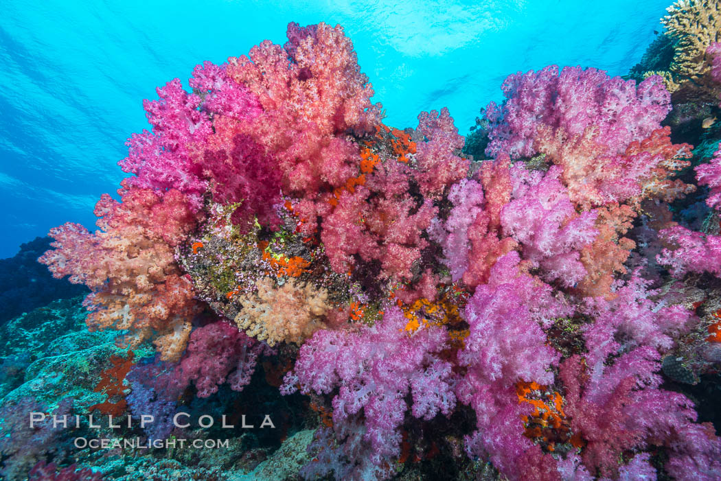 Spectacularly colorful dendronephthya soft corals on South Pacific reef, reaching out into strong ocean currents to capture passing planktonic food, Fiji. Nigali Passage, Gau Island, Lomaiviti Archipelago, Dendronephthya, natural history stock photograph, photo id 31389
