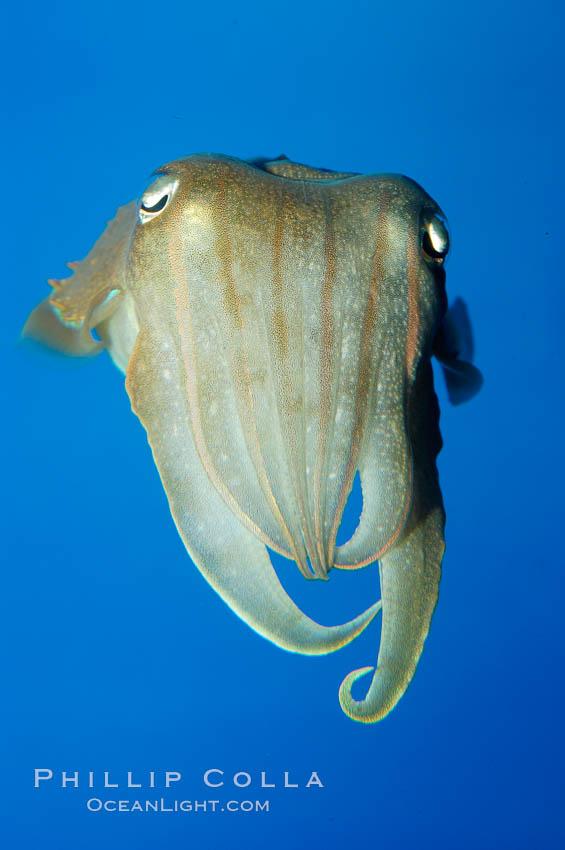 Common cuttlefish., Sepia officinalis, natural history stock photograph, photo id 10302