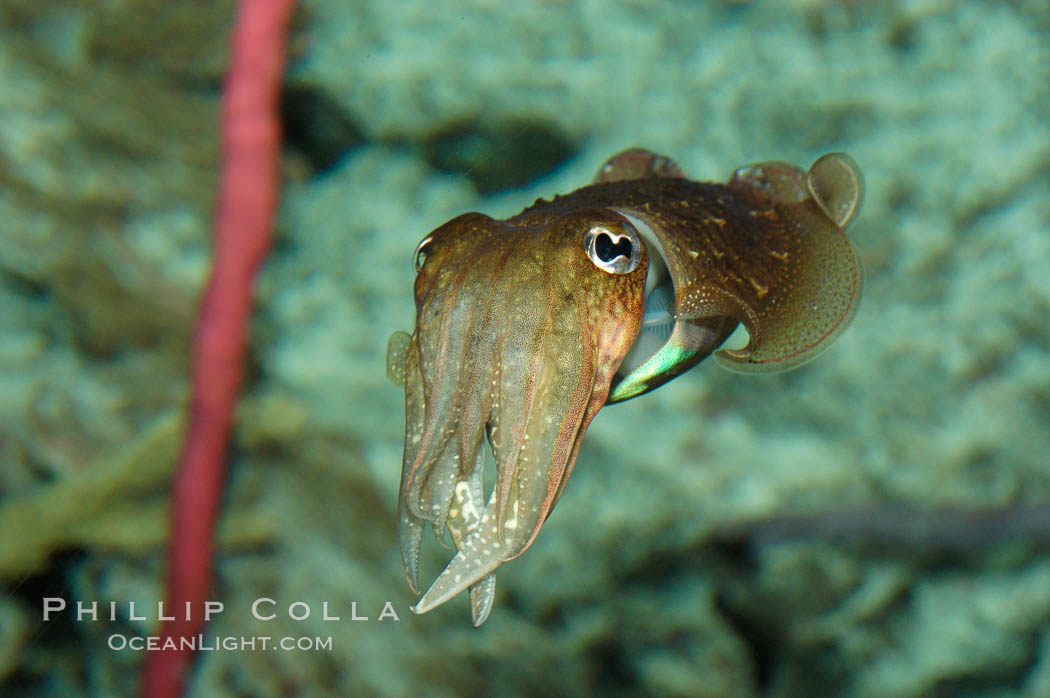 Common cuttlefish., Sepia officinalis, natural history stock photograph, photo id 07804