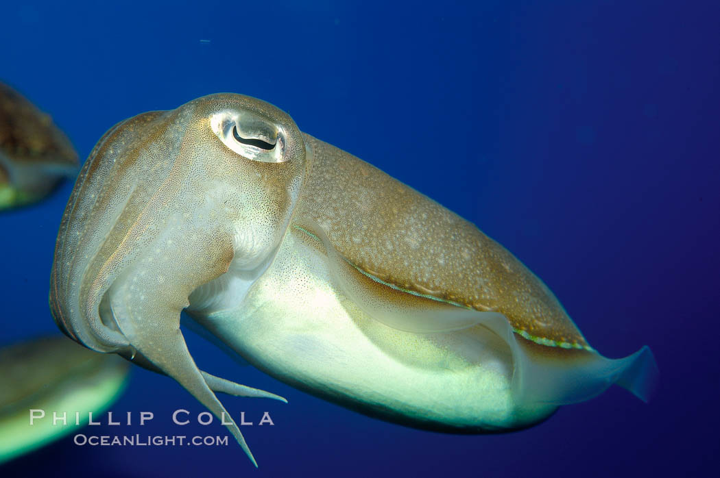 Common cuttlefish., Sepia officinalis, natural history stock photograph, photo id 10299