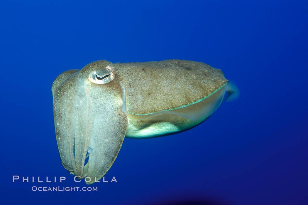 Common cuttlefish., Sepia officinalis, natural history stock photograph, photo id 10306