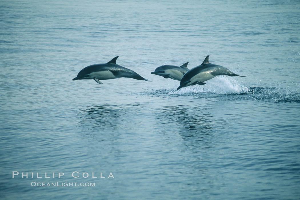 Common dolphin leaping (porpoising). San Diego, California, USA, Delphinus delphis, natural history stock photograph, photo id 04939