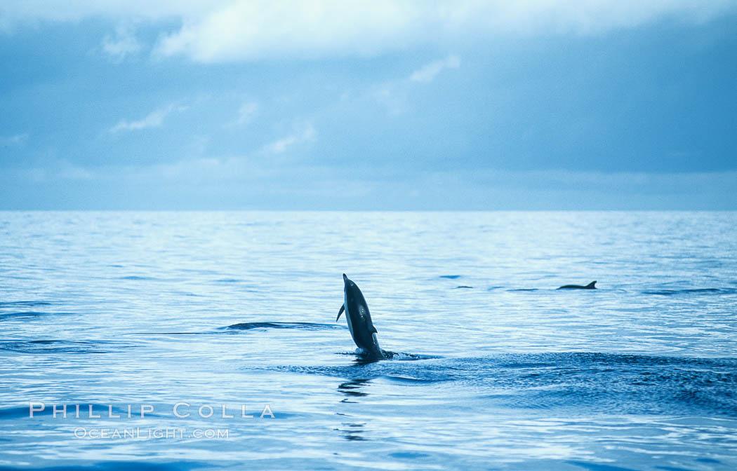 Common dolphin leaping (porpoising). San Diego, California, USA, Delphinus delphis, natural history stock photograph, photo id 18933