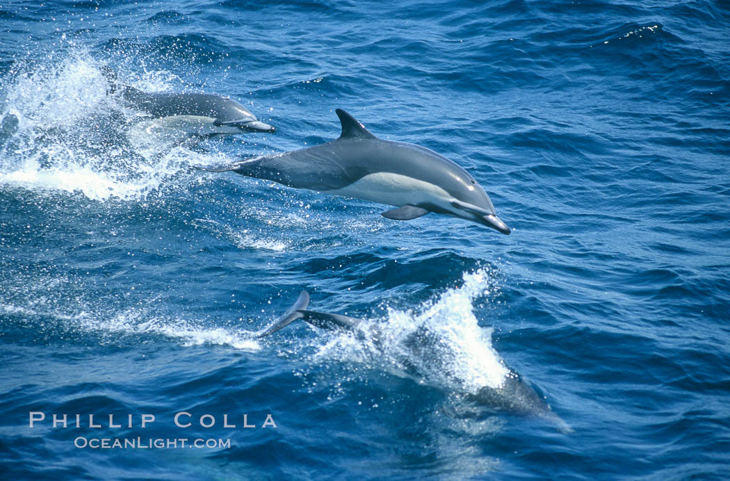 Common dolphin leaping (porpoising). San Diego, California, USA, Delphinus delphis, natural history stock photograph, photo id 02107
