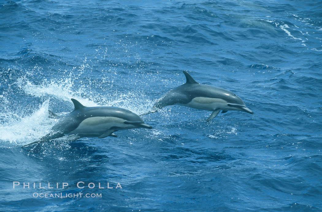 Image 04923, Common dolphin leaping (porpoising). San Diego, California, USA, Delphinus delphis