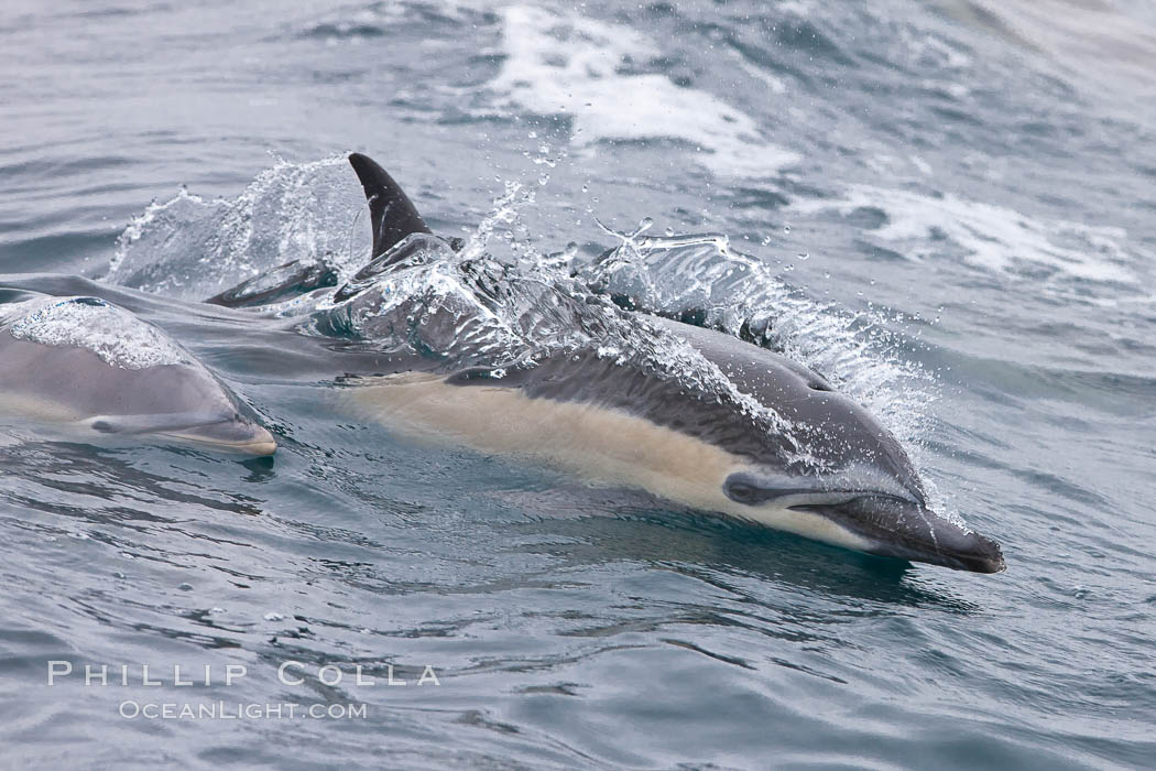 Common dolphin at the edge of the ocean. Santa Barbara, California, USA, Delphinus delphis, natural history stock photograph, photo id 27017