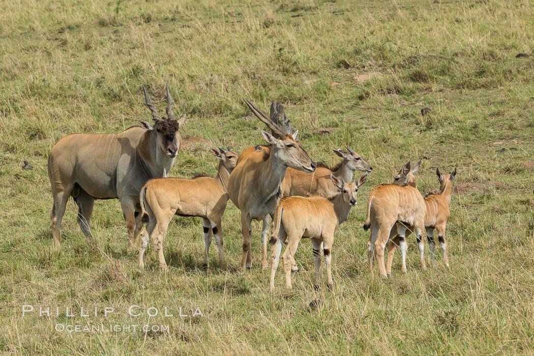 Common eland, Maasai Mara, Kenya. Maasai Mara National Reserve, Kenya, Taurotragus oryx, natural history stock photograph, photo id 29902