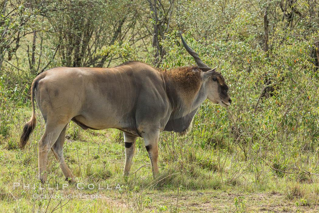 Common eland, Maasai Mara, Kenya. Maasai Mara National Reserve, Kenya, Taurotragus oryx, natural history stock photograph, photo id 29901
