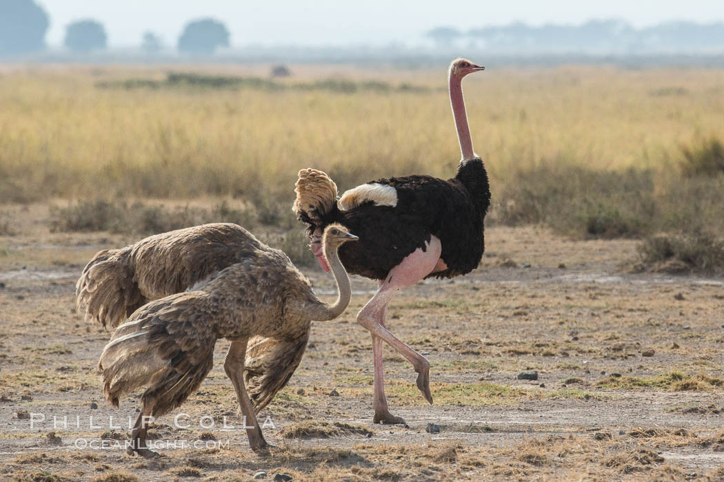 Common Ostrich. Amboseli National Park, Kenya, Struthio camelus, natural history stock photograph, photo id 29574