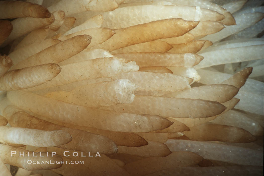Squid eggs. La Jolla, California, USA, Loligo opalescens, natural history stock photograph, photo id 01278