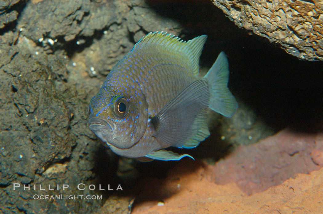 Connies Damsel., Chromis limbaughi, natural history stock photograph, photo id 09224