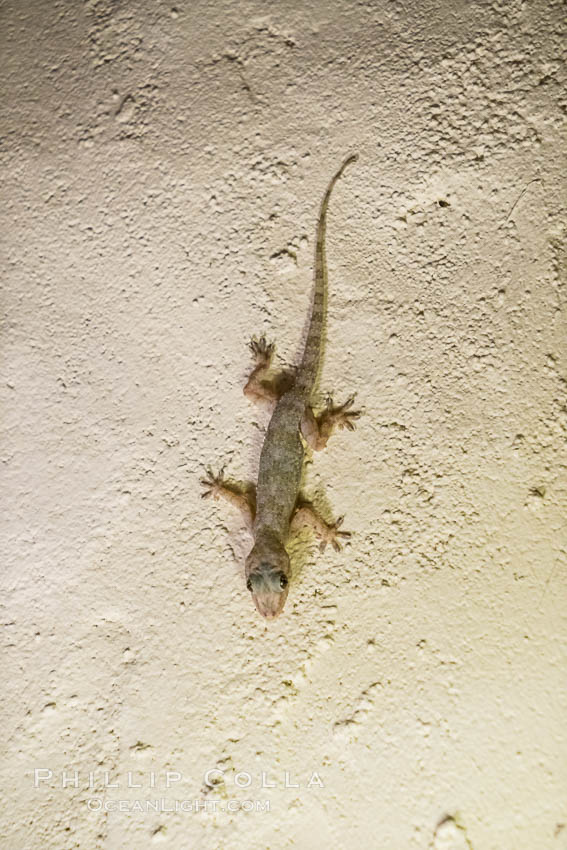 Cool little Gecko on the wall of my room in Elsa's Kopje Safari Lodge, Meru National Park, Kenya., natural history stock photograph, photo id 29641