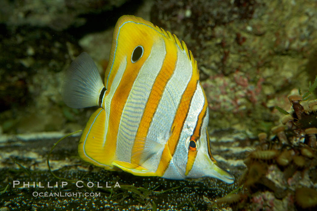 Copperband butterflyfish., Chelmon rostratus, natural history stock photograph, photo id 10998
