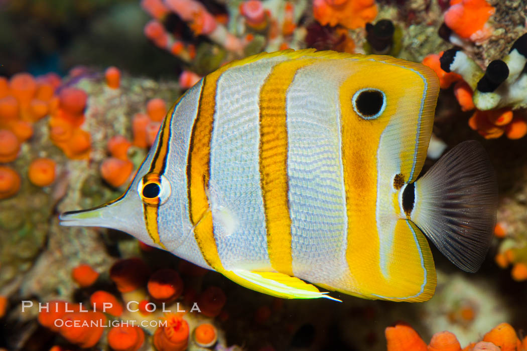Copperband butterflyfish., Chelmon rostratus, natural history stock photograph, photo id 27216