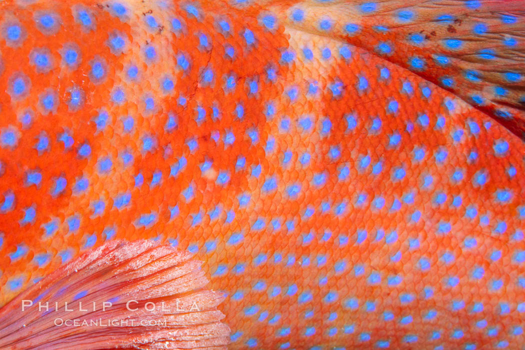 Coral Hind, Cephalopholis miniata, also known as Coral Trout and Coral Grouper, Fiji. Namena Marine Reserve, Namena Island, Cephalopholis miniata, natural history stock photograph, photo id 34926