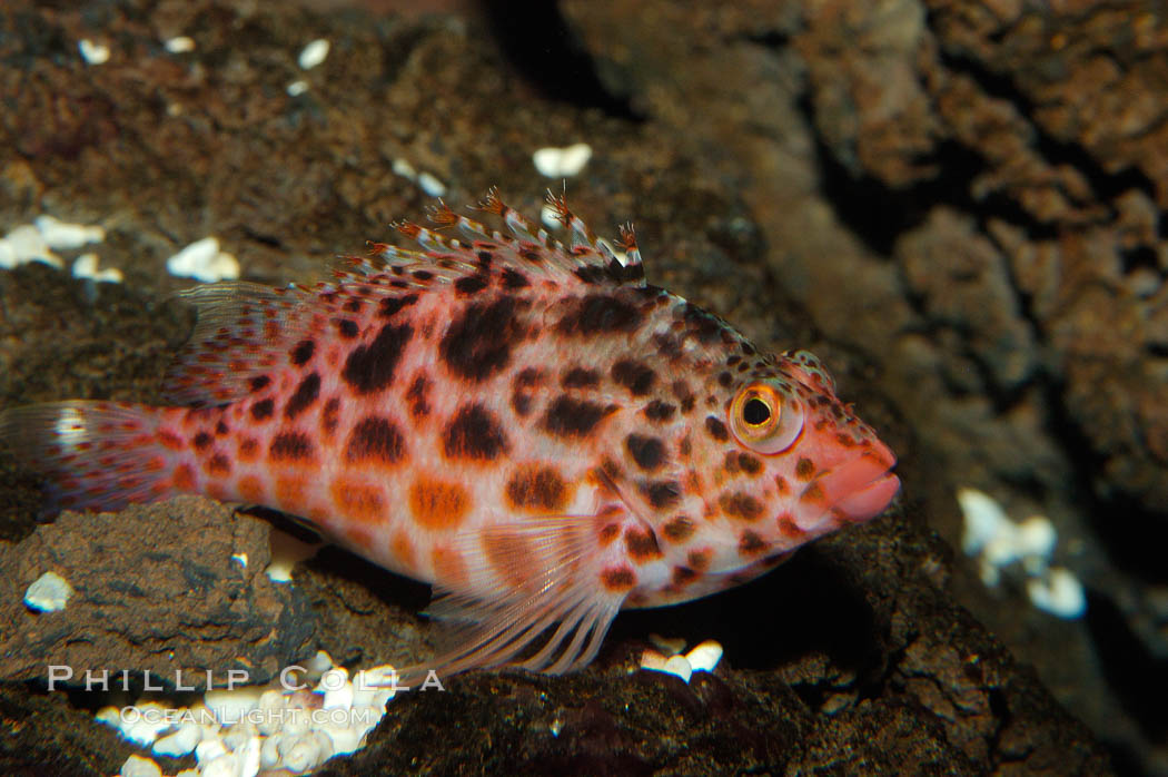 Coral hawkfish. Punte Vicente Roca, Cirrhitichthys oxycephalus, natural history stock photograph, photo id 09227