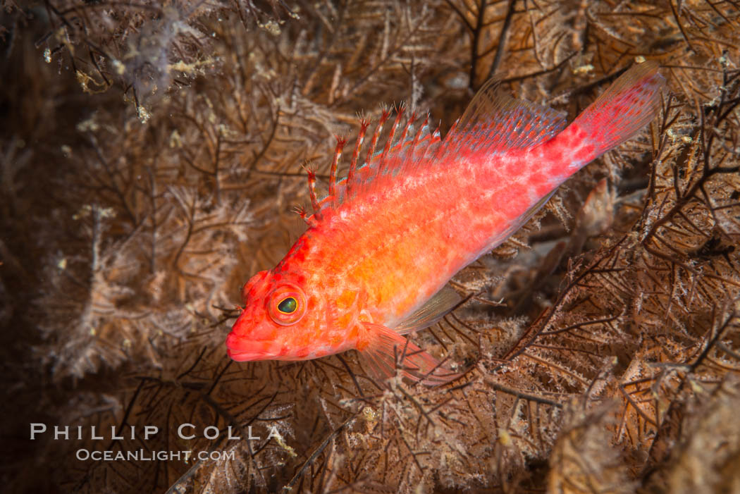 Coral Hawkfish, Sea of Cortez, Baja California. Isla San Diego, Mexico, natural history stock photograph, photo id 33566