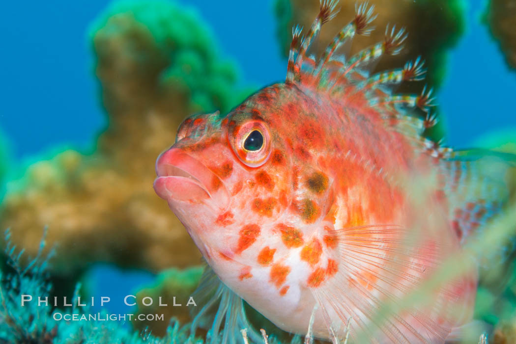 Coral Hawkfish, Sea of Cortez, Baja California. Baja California, Mexico, natural history stock photograph, photo id 33610