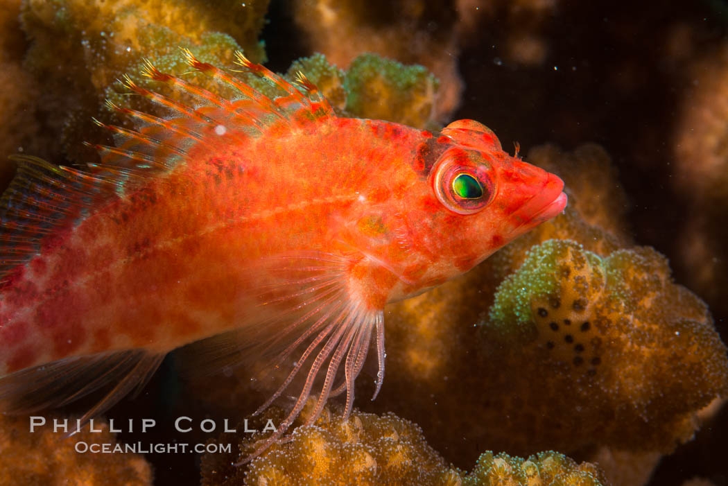 Coral Hawkfish, Sea of Cortez, Baja California. Isla San Diego, Baja California, Mexico, natural history stock photograph, photo id 33552