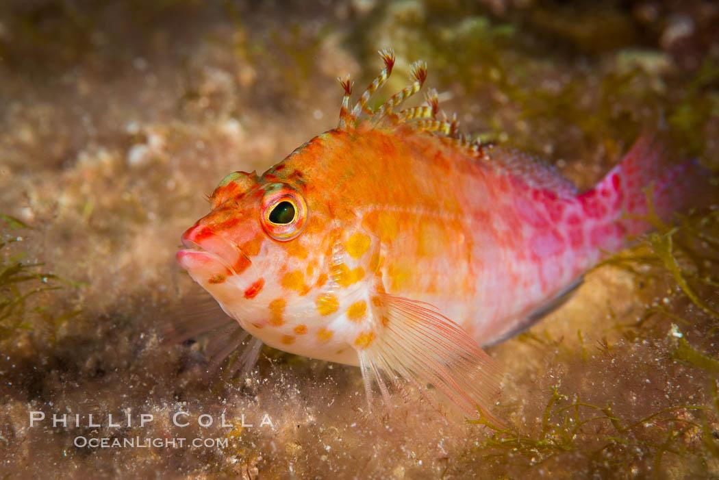Coral Hawkfish, Sea of Cortez, Baja California. Isla San Diego, Baja California, Mexico, natural history stock photograph, photo id 33592