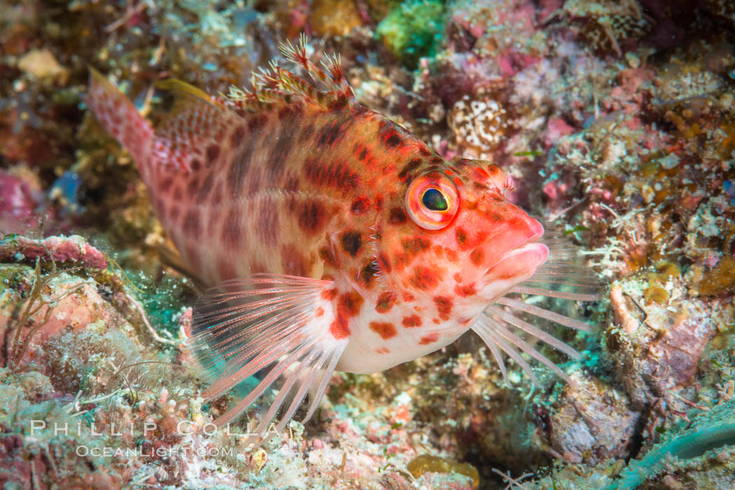 Coral Hawkfish, Sea of Cortez, Baja California. Mexico, natural history stock photograph, photo id 33608