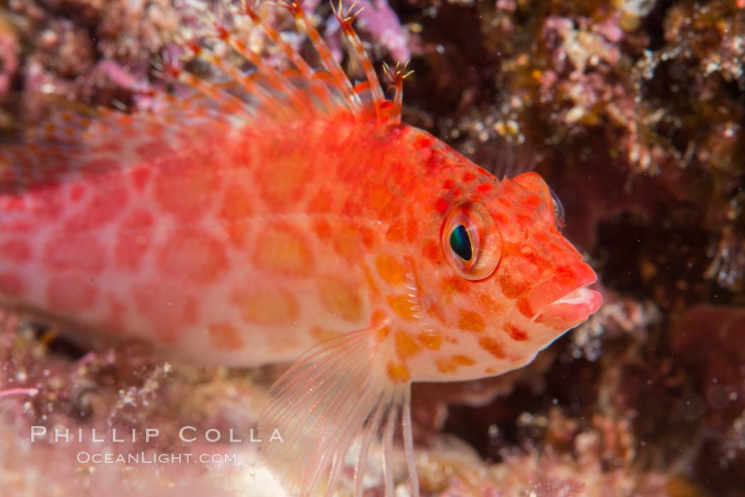 Coral Hawkfish, Sea of Cortez, Baja California. Isla San Diego, Baja California, Mexico, natural history stock photograph, photo id 33537