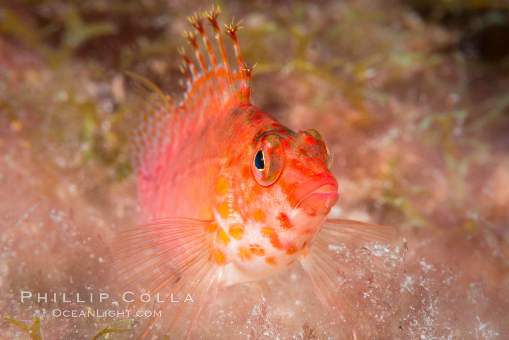 Coral Hawkfish, Sea of Cortez, Baja California. Isla San Diego, Baja California, Mexico, natural history stock photograph, photo id 33553