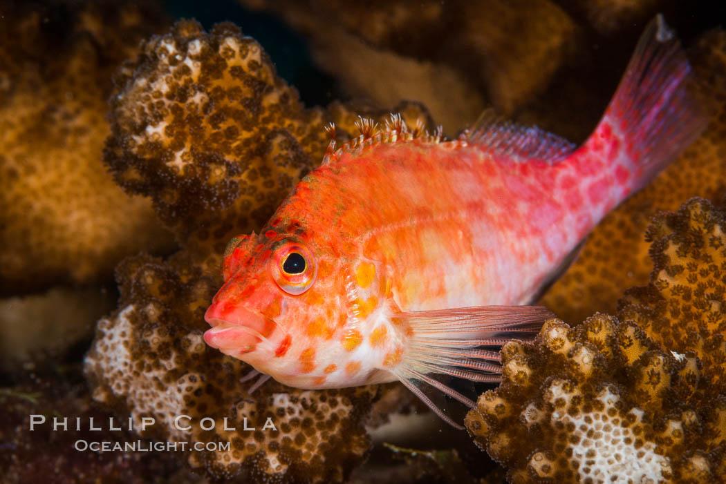 Coral Hawkfish, Sea of Cortez, Baja California. Isla San Diego, Baja California, Mexico, natural history stock photograph, photo id 33593