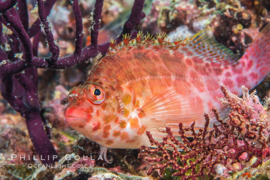 Coral Hawkfish, Sea of Cortez, Baja California. Isla Espiritu Santo, Mexico, natural history stock photograph, photo id 33773