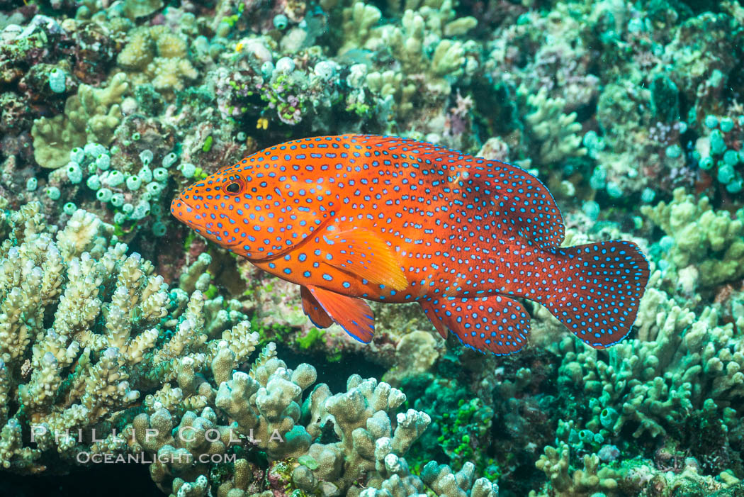 Coral Hind, Cephalopholis miniata, also known as Coral Trout and Coral Grouper, Fiji. Makogai Island, Lomaiviti Archipelago, Cephalopholis miniata, natural history stock photograph, photo id 31448
