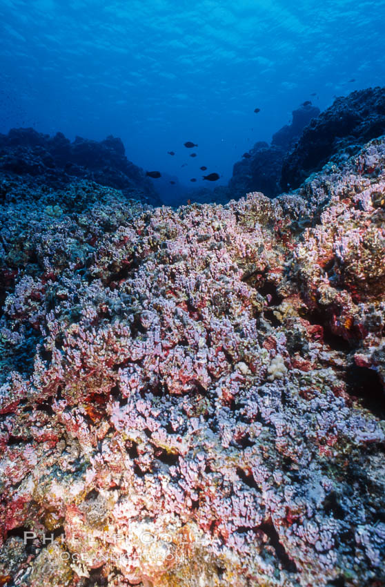 Pink coralline algae. Rose Atoll National Wildlife Sanctuary, American Samoa, USA, Porolithon, natural history stock photograph, photo id 00759