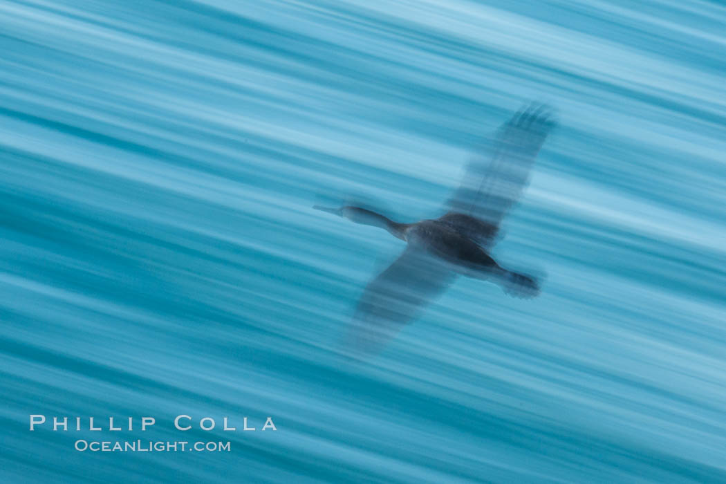 Cormorant in flight, wings blurred by time exposure. La Jolla, California, USA, natural history stock photograph, photo id 30188