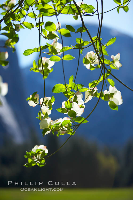 Mountain dogwood, or Pacific dogwood, Yosemite Valley. Yosemite National Park, California, USA, Cornus nuttallii, natural history stock photograph, photo id 12681