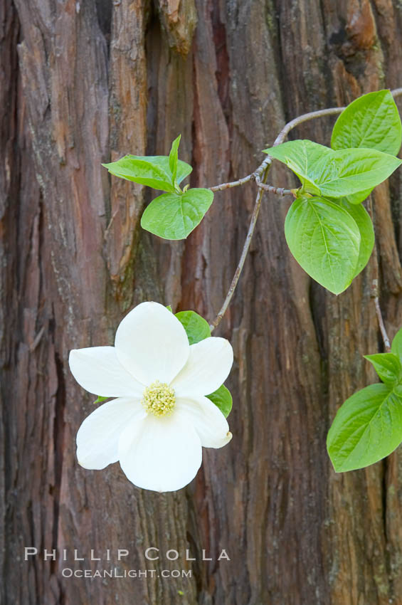 Mountain dogwood, or Pacific dogwood, Yosemite Valley. Yosemite National Park, California, USA, Cornus nuttallii, natural history stock photograph, photo id 12693