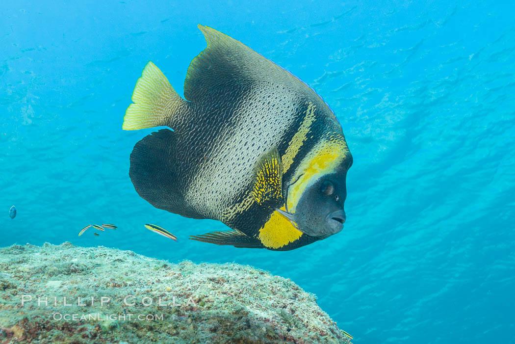Cortez Angelfish, Pomacanthus zonipectus, Sea of Cortez, Mexico. Isla San Francisquito, Baja California, Mexico, natural history stock photograph, photo id 33636