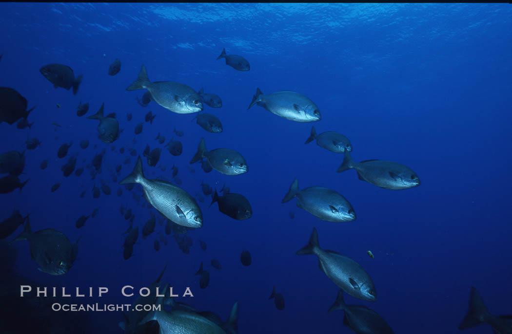 Cortez chubb. Guadalupe Island (Isla Guadalupe), Baja California, Mexico, Kyphosus elegans, natural history stock photograph, photo id 06182