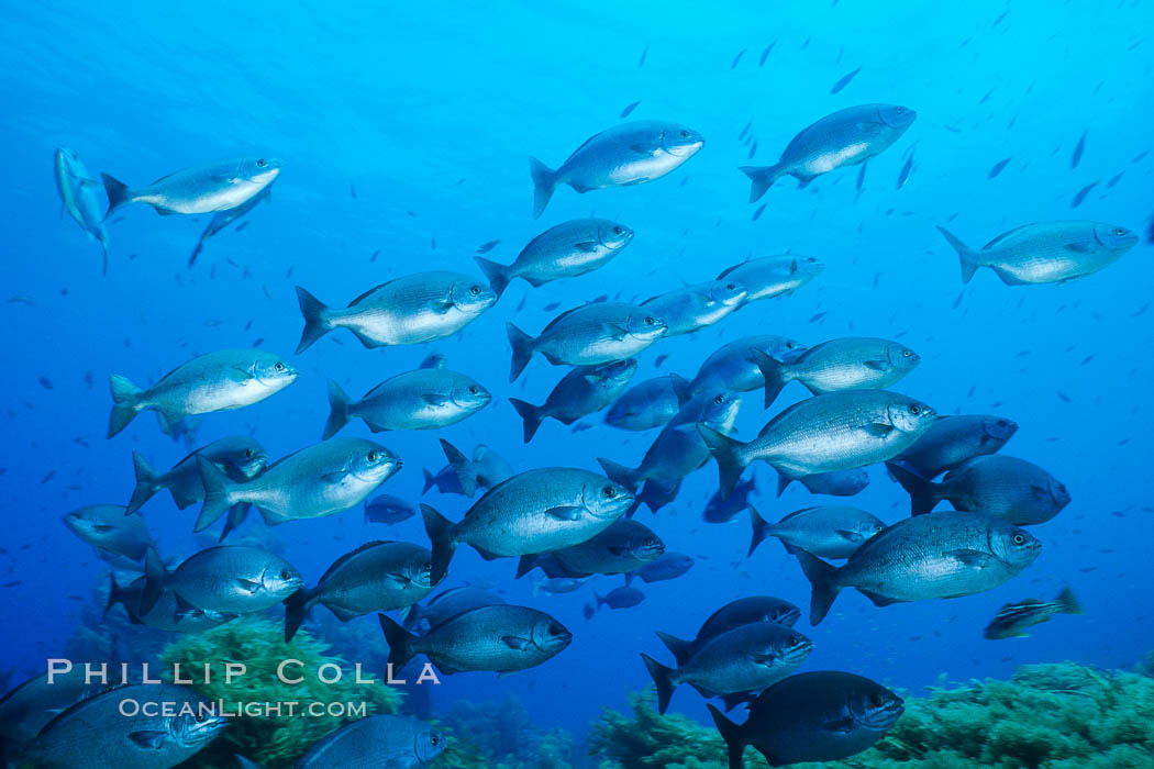 Cortez chubb. Guadalupe Island (Isla Guadalupe), Baja California, Mexico, Kyphosus elegans, natural history stock photograph, photo id 01020